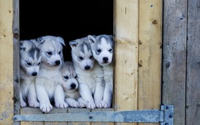 Cute Husky Puppies wallpaper