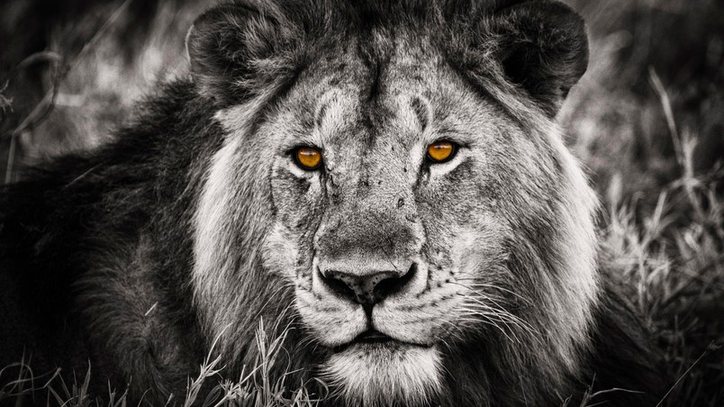 Black and White Lion Portrait HD Wallpaper - WallpaperFX