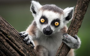 Ring Tailed Lemur wallpaper