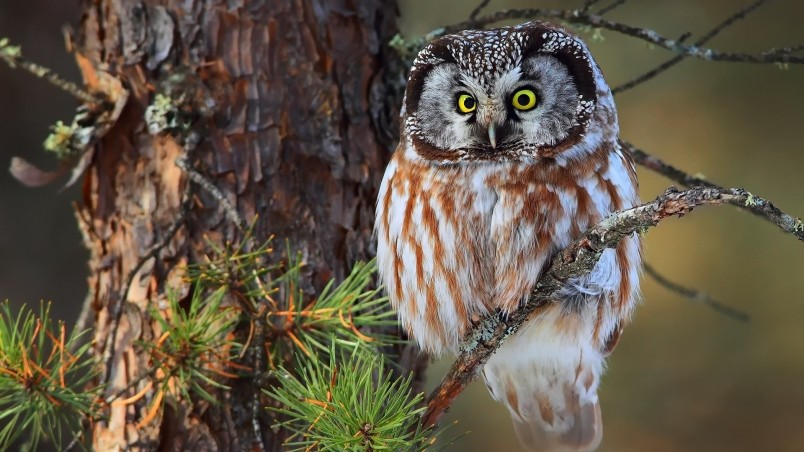 Cute Little Owl Wallpaper