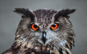 Orange Eyed Owl wallpaper