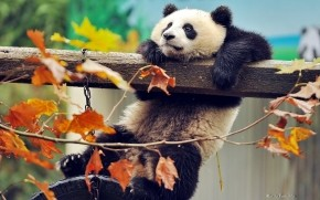 Cute Panda Climbing wallpaper