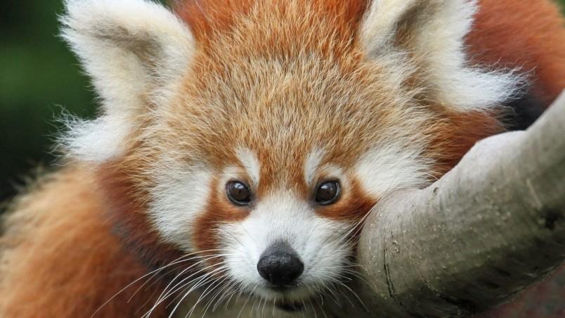 Cute Red Panda HD Wallpaper - WallpaperFX