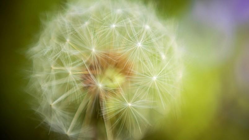 Dandelion Plant Wallpaper