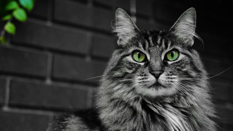 Fluffy Cat with Green Eyes wallpaper