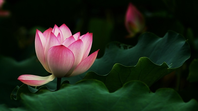 beautiful lotus flower hd wallpaper  wallpaperfx, Beautiful flower