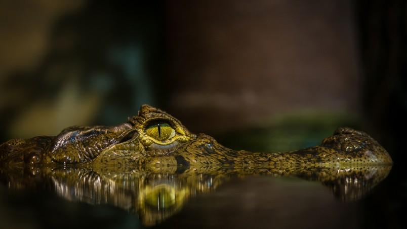 Crocodile HD Wallpaper - WallpaperFX