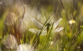 Dragonfly in the Grass wallpaper