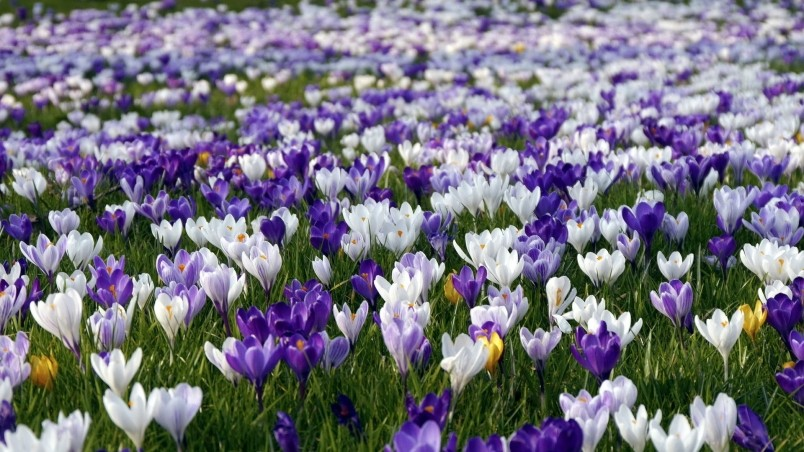 Crocus Field  wallpaper