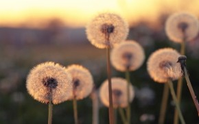 Summer Blurred Dandelions  wallpaper