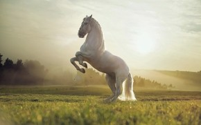 Beautiful White Horse wallpaper