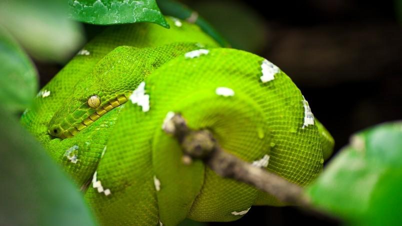 Green tree python snake hd wallpaper wallpaperfx - Green snake hd wallpaper ...
