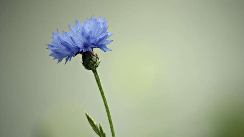 Cornflower wallpaper
