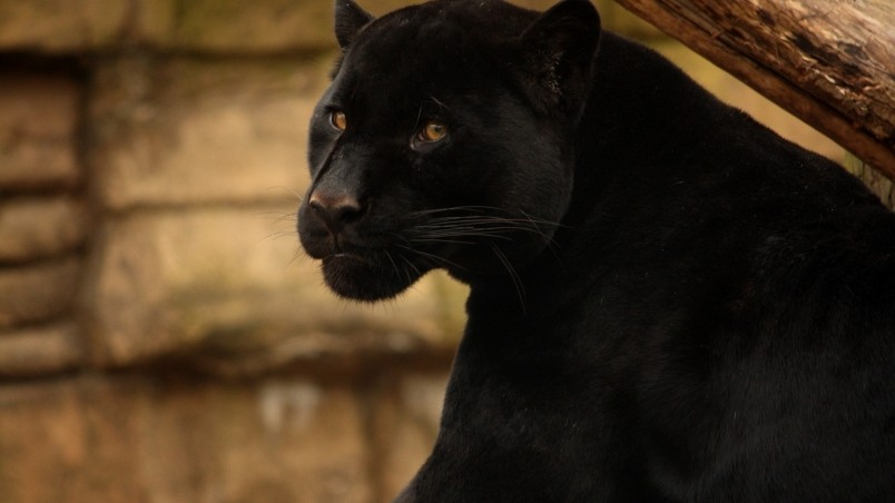 Beautiful Black Panther Hd Wallpaper Wallpaperfx