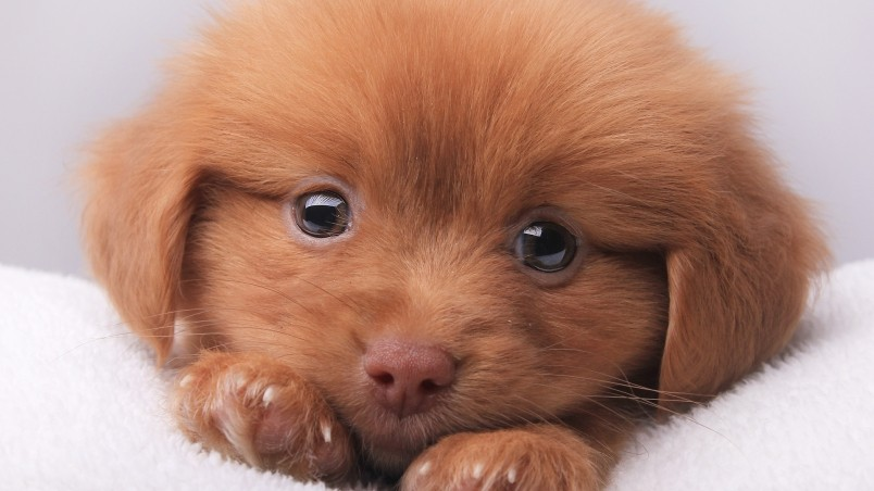 Cute Brown Puppy Hd Wallpaper Wallpaperfx
