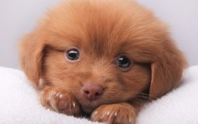 Cute Brown Puppy wallpaper