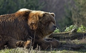 Huge Brown Bear wallpaper