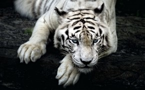 Amazing White Tiger wallpaper