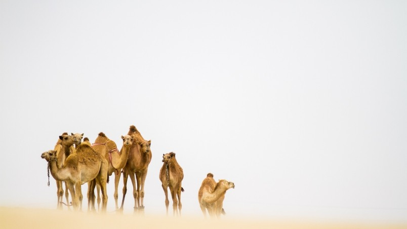 Camels In The Desert Hd Wallpaper Wallpaperfx