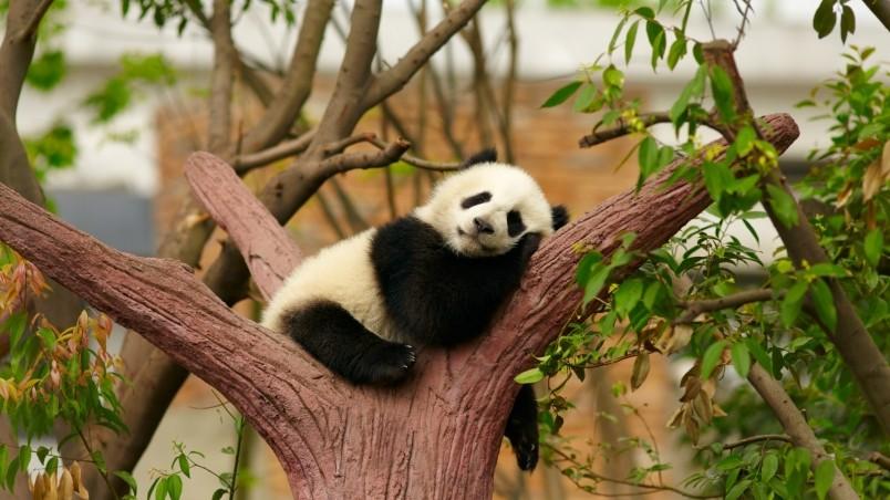 Baby Panda Hd Wallpaper Wallpaperfx