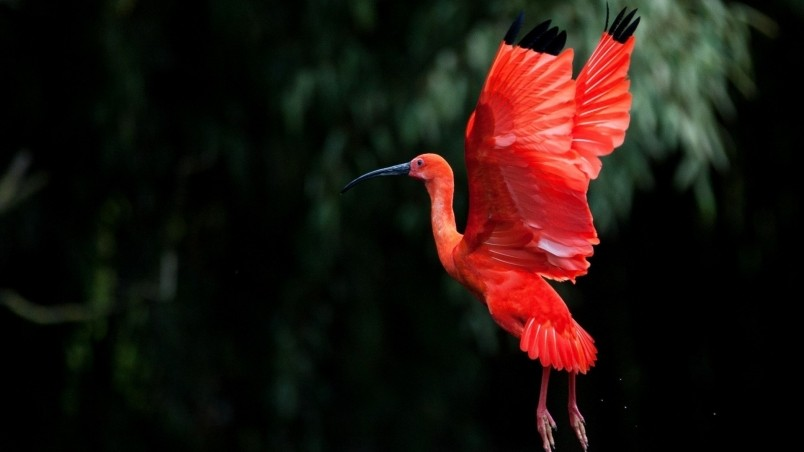 Red Ibis bird Flying wallpaper