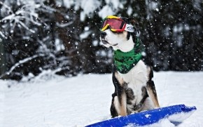 Cool Dog in Snow wallpaper
