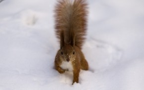 Fluffy Squirrel wallpaper