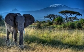 African Elephant wallpaper