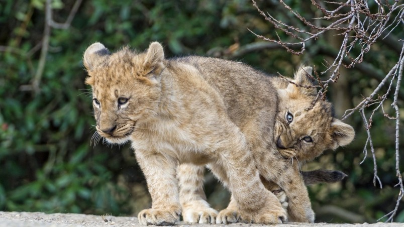 Lion Cubs Playing wallpaper