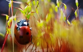 Red Ladybug Macro Photo wallpaper