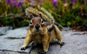 Squirrel Close Up wallpaper