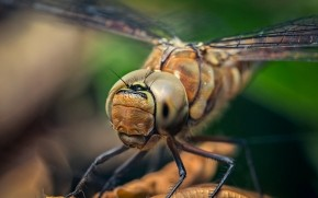Dragonfly Macro Photo wallpaper