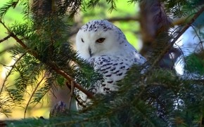 Beautiful White Owl wallpaper
