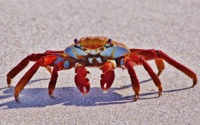 Red Crab wallpaper