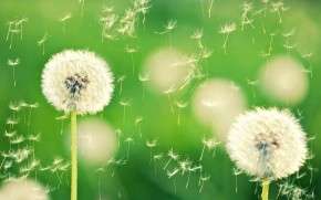 Dandelion Fluff wallpaper