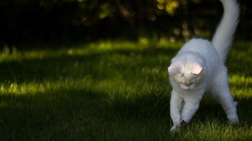 White Cat Playing  wallpaper