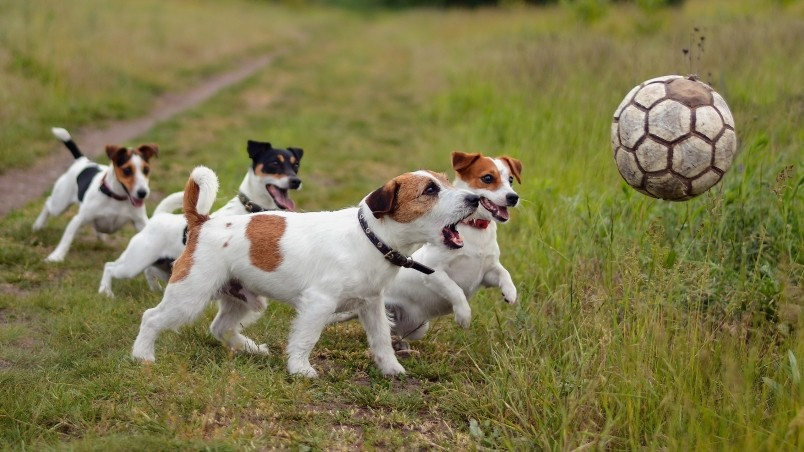 How to Select a Male Dog for Breeding images