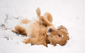 Dog Playing in the Snow wallpaper