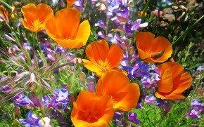 Orange Poppies  wallpaper