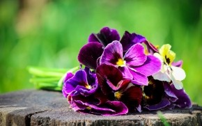 Pansies Bouquet  wallpaper