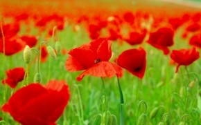 Red Poppies Field  wallpaper
