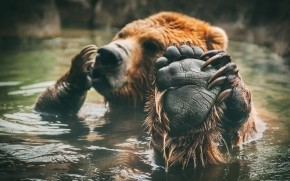 Brown Bear Bathing wallpaper
