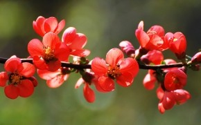 Red Spring Blossoms wallpaper