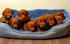 Cute Brown Puppies wallpaper