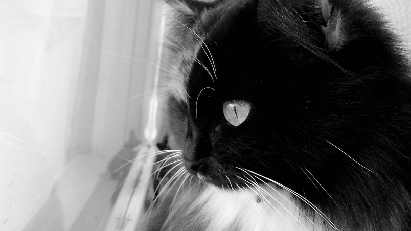 Black And White Cat HD Wallpaper