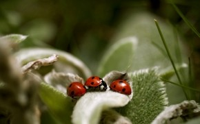 Ladybugs Close Up wallpaper