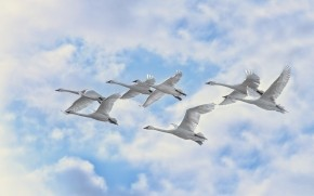 White Swans Flying wallpaper