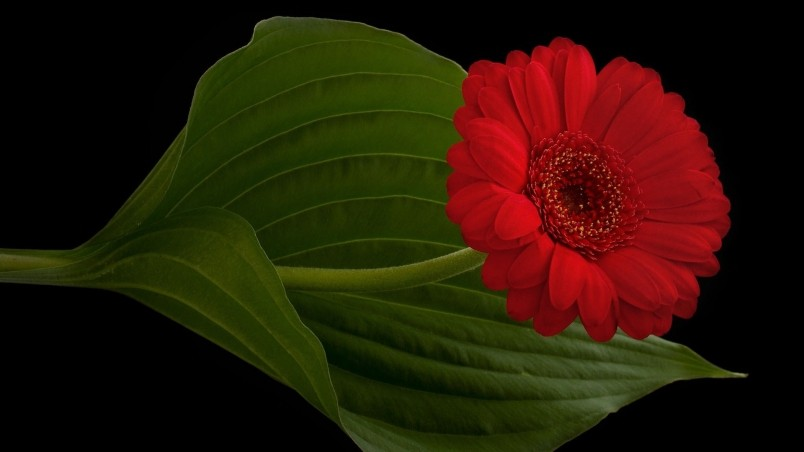 red daisy flower hd - photo #20