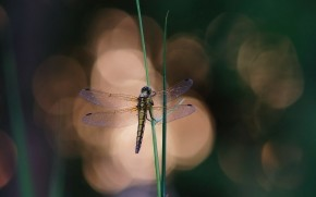 Blue Dragonfly on a Blade of Grass wallpaper