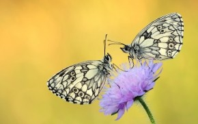 Butterflies on a Purple Flower wallpaper